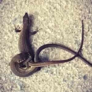 今年は好調〜百合の花&初めて見たニホンカナヘビの交尾。