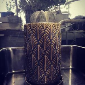 鸞鳳玉と恩塚鸞鳳玉〜鸞鳳玉の開花とFlower Tankの鉢。