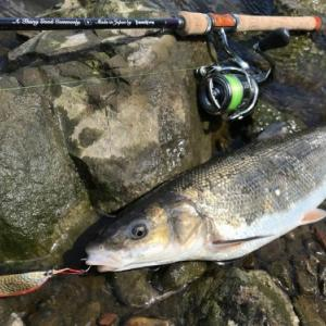 利根川でのサクラマス釣りの始まり