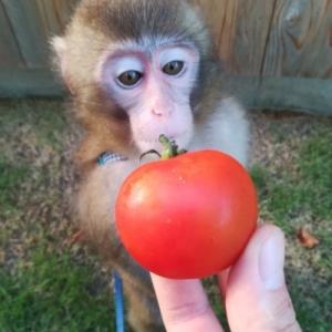 トマトのおすそ分けをいただきました!