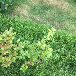 雑草対策のグランドカバーの驚くほどの効果を見てほしい!