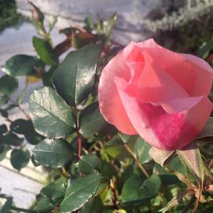良い香りの植物に限って育てるのが難しい謎
