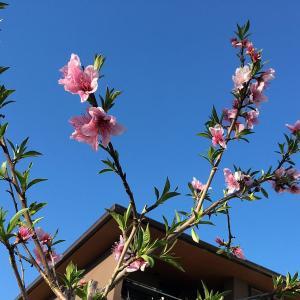 梅、桃、桜の順番で咲く(我が家の春の庭)