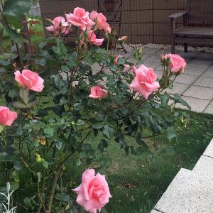 我が家のバラの種類と楽しみ方