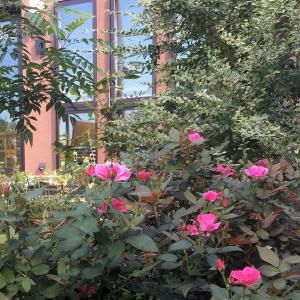 バラの葉っぱが落ちてスカスカになるのを防ぐ方法