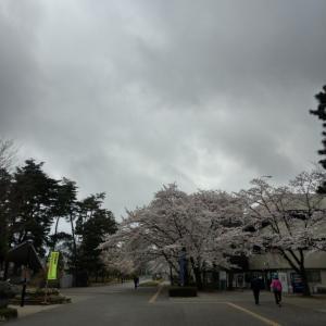 新型コロナでも桜はさく