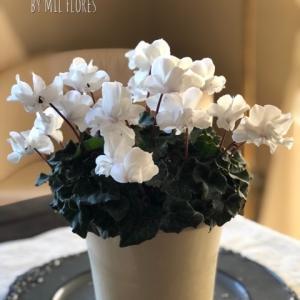 八重咲きシクラメン Wink White