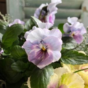 美しき園芸種 〜 ワイルドな土地にて