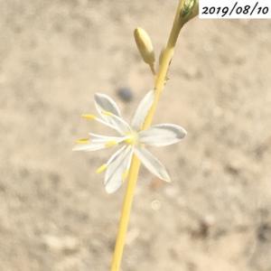 #24 オリヅルラン 花を咲かせました