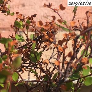 #15 ワイヤープランツ 猛暑で葉が枯れてきました