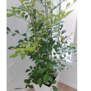 お勧めの観葉植物|シルクジャスミン
