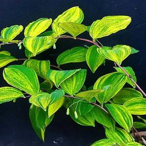 斑入り植物が美しい・・・・