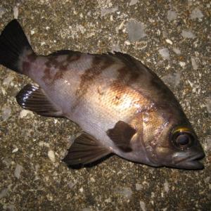 33センチのタケノコメバルが釣れた!