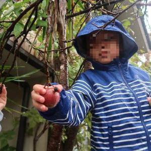 振り返ってみると ~冬のテラスリフォーム前に鉢植リンゴの収穫とリンゴピザを孫たちと共に~
