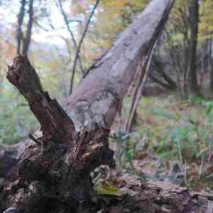 朝日を見た「裏NAPiの森」は原生林 & カレーおでん→チーズon→…を朝飯に ~もみぢの絨毯・微睡の森NAPi[6]~