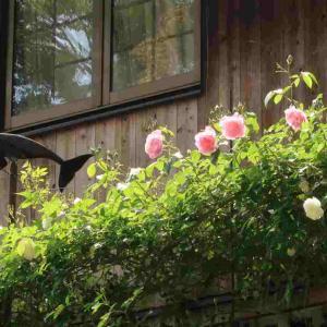 東側2Fテラス上を泳ぐ風見鯨と共に ~ECO2HOUSE2001の薔薇たちの年に一度の晴れ姿~ 4月25日~5月1日