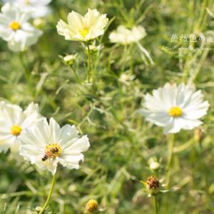 白色の秋桜