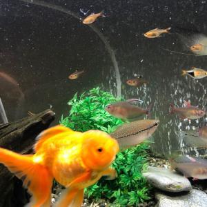 金魚と熱帯魚