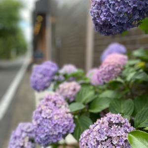 マシュフォンデコ®︎紫陽花もそろそろ終わります。まだの方はお急ぎください。