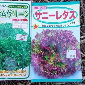 11月・レタス追い播き・タマネギ苗定植