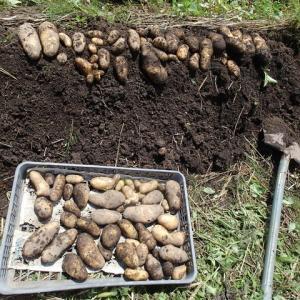 キタアカリの収穫とアーティチョーク