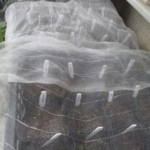 人参や秋冬野菜の発芽確認