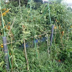 トマト畝片づけとペッタンコエダマメ