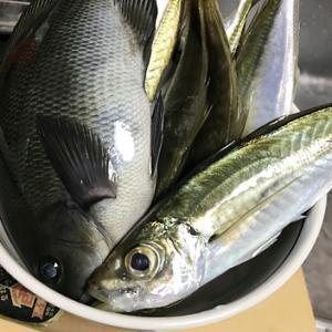 【釣り/勝浦・鴨川】11月・アジ、居ました!プリッと太って食べ応えも十分。