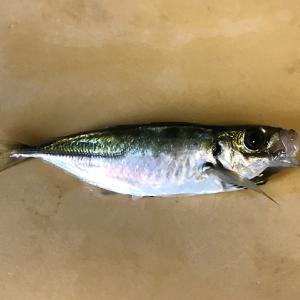 【釣り/勝浦・鴨川】6月・ドジョウの泳がせでマゴチ・ヒラメを狙う!