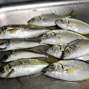【釣り/外房】9月・カゴ釣りに強烈な引き!その正体はシマアジ!