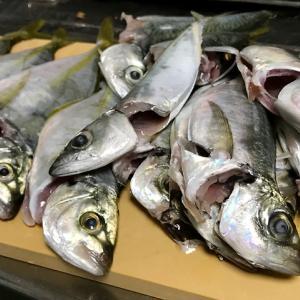 【釣り/外房】9月・シマアジの再来。スポっと沈むウキが気持ちいい!