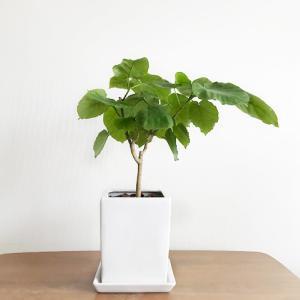 【栽培/観葉植物】大きなハート型の葉が可愛い。ウンベラータを育てることになりました。