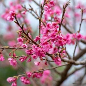 桜に向日葵