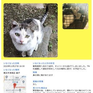 TNR中に逃走した猫を探しています