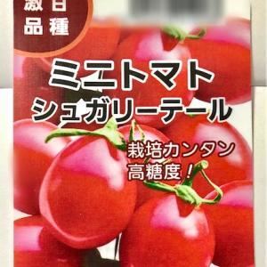 高糖度ミニトマト シュガリーテールの栽培。初心者のベランダ菜園