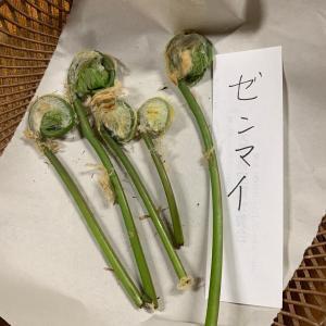 これって食べれるの?生まれて初めての山菜採り