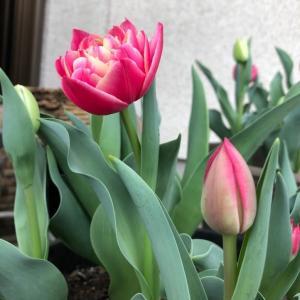 我が家から旅立った球根が全国で笑顔を咲かしている