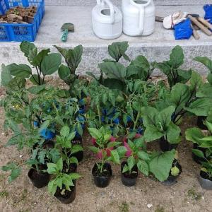 五月に植えた夏野菜の苗総額3,695円の内訳は?