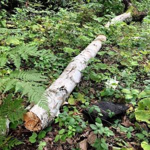 原木1本ゲット等、雨上がりの山荘作業あれこれ
