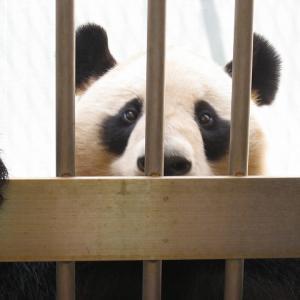 和歌山に子パンダを見に行こう!パンダに餌やりも出来ます♪