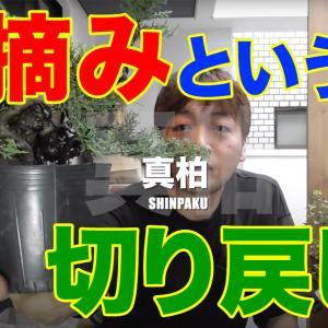 真柏の芽摘み(動画あり)
