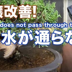 【YouTube】水の通らない真柏鉢。土壌改善に挑戦!