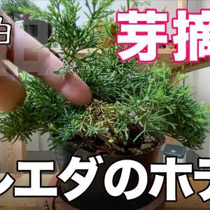 真柏の枯れ枝を抜いて補填する。あと芽摘み。