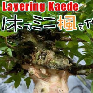取り木で10cm以下のミニ楓を作る