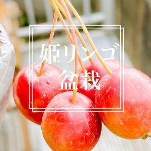 姫リンゴ、日に染まる、まーるまる