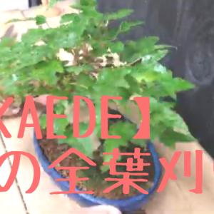 楓の全葉刈り動画