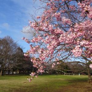❀❀横浜緋桜❀❀