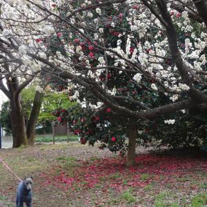 大島桜❀ ❀ ❀