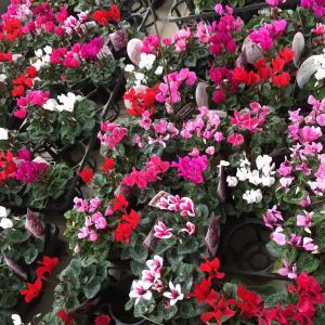 ガーデンシクラメンと今日はカラオケ文化の日
