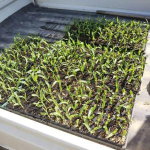 枝豆とトウモロコシの定植